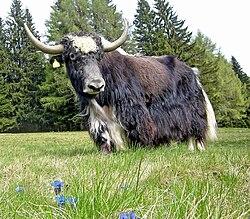 Un yack