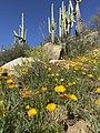 Yellow Poppies Saguaro Cactus 541.jpg
