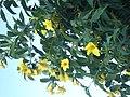 Yellow flowers in Goa, India.jpg