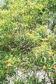Yellow oleander.jpg