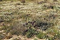 Yeruham-iris-reserve.JPG