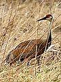 Young Sandhill Crane (7011357699).jpg