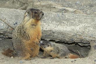 Yellow-bellied marmot - Female with nursing pup, Kamloops, British Columbia