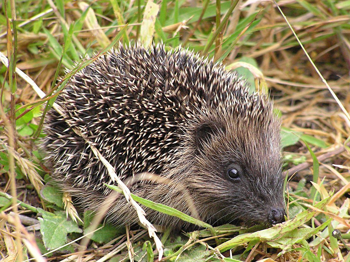 Hedgehogs in New Zealand - Wikipedia