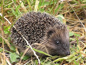 Young hedgehog out during the day. Karori, Wel...