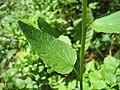 Zerwa kłosowa (Phyteuma spicatum) 02.jpg
