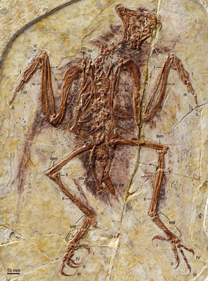 Enantiornithes - Fossil specimen of a bohaiornithid (Zhouornis hani)
