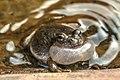 Zion Nat'l Park - amphibian mating rituals - (19922903578).jpg