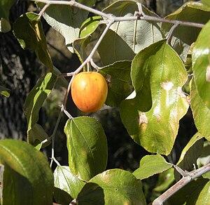 Ziziphus mauritiana - Image: Ziziphus mauritiana fruit 2