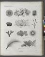 Zoologie. Algues. Hydrophytes (NYPL b14212718-1268632).tiff