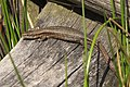 Zootoca vivipara LC0273.jpg