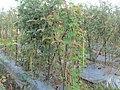 """+arya+"" kacang panjang (Vigna unguiculata sesquipedalis) ꦏꦕꦁ ꦭꦚ꧀ꦗꦫꦤ꧀ 2020 4.jpg"