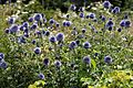 'Echinops ritro' Southern globethistle in the Walled Garden of Goodnestone Park Kent England 1.jpg