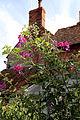 'Lathyrus latifolius' perenial sweet pea on School Lane at Shipley, West Sussex, England.JPG