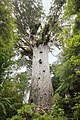 'Lord of the Forest' Tane Mahuta.jpg