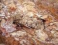 (2353) Flounced Rustic (Luperina testacea) (36810090686).jpg
