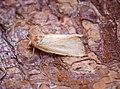 (2377) Fen Wainscot (Arenostola phragmitidis) (35119166404).jpg