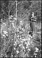 (Unidentified woman standing next to a bush of flannel flowers holding a bouquet of flowers, Queensland?) (Frank Hurley) (9711380487).jpg