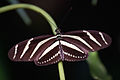 * Heliconius charithonia.jpg
