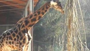 File:Žirafa v ZOO Ljubljana.ogv