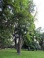 Гомель. Парк. Клён серебристый. Фото 02.jpg