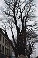 Дуб-довгожитель, вулиця Індустріальна, 2. Київ. Фото 2.jpg
