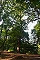 Дуб на Сетомлі DSC 0819.jpg