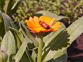 Жук на цветке календулы.JPG