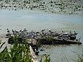 Заказник орнітологічний Барський, чайки 1.jpg