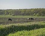 Кабаны на поле.jpg