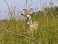 Козёл травяной, один штука. (Goat in grass...) - panoramio.jpg