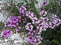 Крейдяні відслонення Thymus calcareus1.jpg