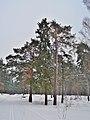 Лес,лыжня недалеко от стрельбища - panoramio.jpg