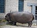Миколаївський зоопарк, бегемот.jpg