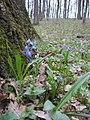 Первоцветы - panoramio (2).jpg
