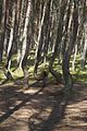 Танцующий лес Куршской Косы.jpg