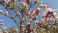 Цвітіння рожевої магнолії 1.jpg