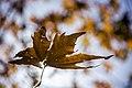 برگ زرد-پاییز-yellow leaves-falling leaves 20.jpg