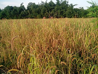 Foxtail millet - Image: কাউন ক্ষেত
