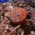ヒオウギガイ (桧扇貝、Noble scallop) Chlamys nobilis3.jpg