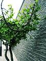 无花果 fig tree——几年前这里还是居民院子的一部分 - panoramio.jpg