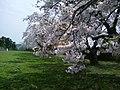 桜 旧竹花小学校 Toyosato - panoramio.jpg