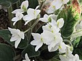 滇泰石蝴蝶 Petrocosmea kerrii -牛津大學植物園 Oxford Botanic Garden- (9227114521).jpg