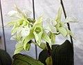 石斛蘭屬 Dendrobium forbesii -香港青松觀蘭花展 Tuen Mun, Hong Kong- (9222654622).jpg