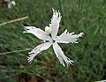 石竹屬 Dianthus lumnitzeri -哥本哈根大學植物園 Copenhagen University Botanical Garden- (36268904133).jpg