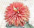 菊花-芍藥型 Chrysanthemum morifolium Peony-ribbon-series -香港圓玄學院 Hong Kong Yuen Yuen Institute- (9204846601).jpg