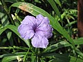 蔓性蘆莉 Ruellia squarrosa -香港動植物公園 Hong Kong Botanical Garden- (9198169533).jpg
