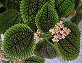 蝦蟆草 Pilea grandis -香港青松觀 Tuen Mun, Hong Kong- (9193422586).jpg