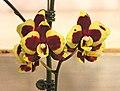 蝴蝶蘭 Phalaenopsis Charming Melody -台南國際蘭展 Taiwan International Orchid Show- (39129456200).jpg