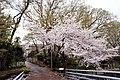 調布市・仙川の桜 2011.04.10 11-48 - panoramio.jpg